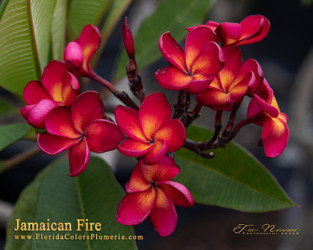 Jamaican Fire (grafted with roots) Plumeria