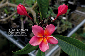 Flaming Heart FCN  (grafted with roots) Plumeria