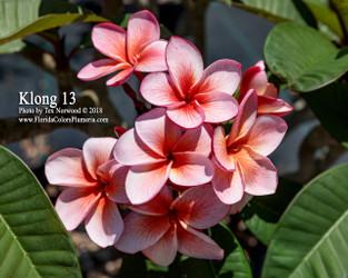 Klong 13 (rooted) Plumeria