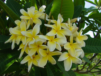Yellow Jack FCN  (rooted) Plumeria