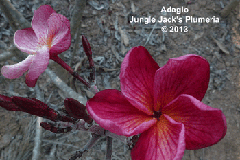 Adaglo JJ  (Grafted with roots) Plumeria