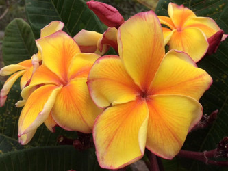 Golden Noi (grafted with roots) Plumeria