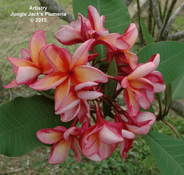 Artistry JJ (grafted with roots) Plumeria