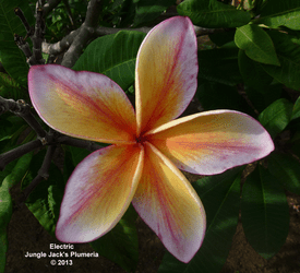 Electric JJ (rooted)  Plumeria