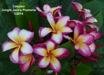 Calypso JJ  (grafted with roots) Plumeria