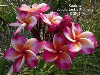 Xquisite JJ (rooted) Plumeria