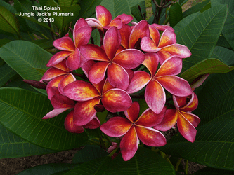 Thai Splash JJ (rooted)  Plumeria