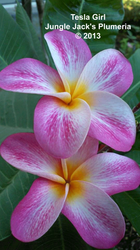Tesla Girl JJ (grafted with roots) Plumeria