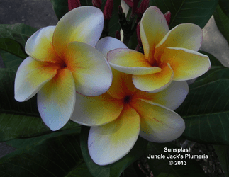 SunSplash JJ (grafted with roots) Plumeria