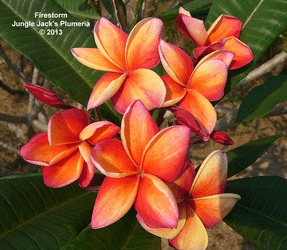 Firestorm JJ (grafted with roots) Plumeria