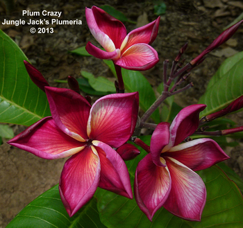 Plum Crazy JJ (grafted with roots) Plumeria