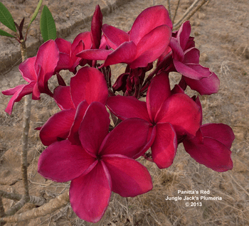 Panitta's Red JJ (grafted with roots) Plumeria