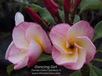 Dancing Girl (grafted with roots) Plumeria