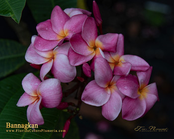 Bannagkan  (grafted with roots) Plumeria