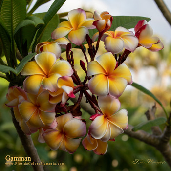 Gammam (rooted)  Plumeria