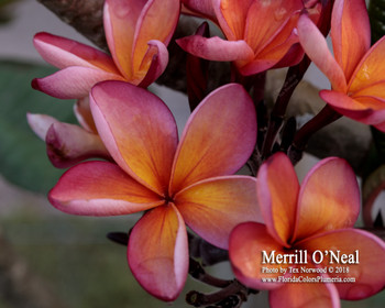 Merrill O'Neal FCN  (rooted) Plumeria