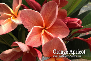 Orange Apricot (grafted with roots) Plumeria