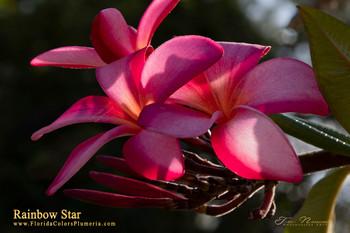 Rainbow Star (rooted) Plumeria