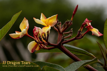 Dragon Tears JJ (grafted with roots) Plumeria