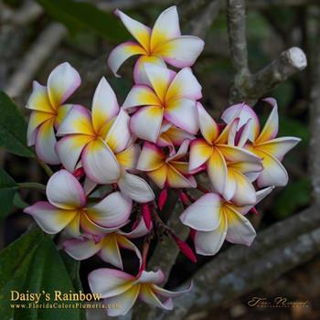 Daisy's Rainbow FCN (rooted)  Plumeria
