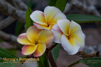 Herzog's Butterscotch ( rooted) Plumeria