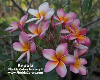 Kepola Rainbow Plumeria