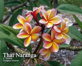 Thai Naranja ( rooted) Plumeria