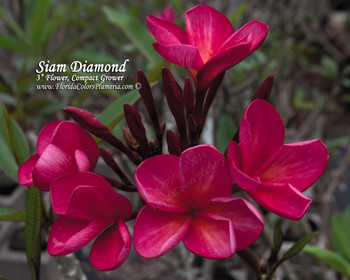 Siam Diamond (rooted)Plumeria