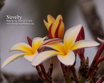 Novelty ( rooted) Plumeria