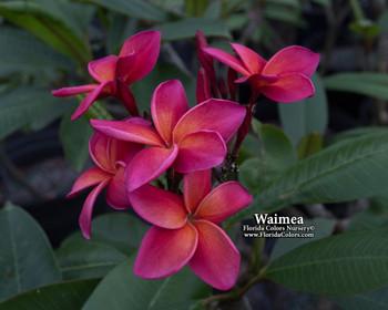 Waimea (rooted) Plumeria