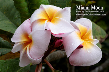 Miami Moon FCN (rooted) Plumeria