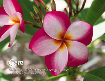 Thai Gem (rooted)  Plumeria