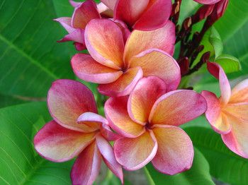 Orange Rainbow (grafted with roots) Plumeria