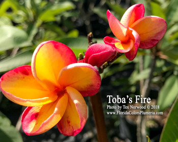 Toba's Fire (grafted with roots) Plumeria