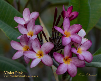 Violet Pink  (rooted) Plumeria