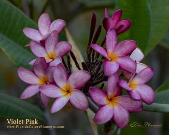 Violet Pink  (rooted) Plumeria