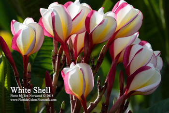 White Shell (rooted) Plumeria