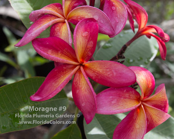 Moragne #9 (rooted) Plumeria