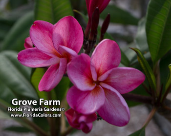 Grove Farm (rooted) Plumeria