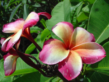 Marco Polo JJ (rooted) Plumeria