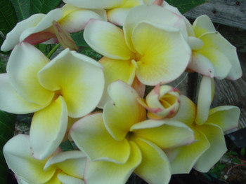 Cyndi Moragne (rooted) Plumeria