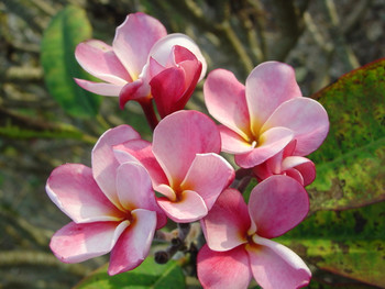 Jeanette FCN (rooted)  Plumeria