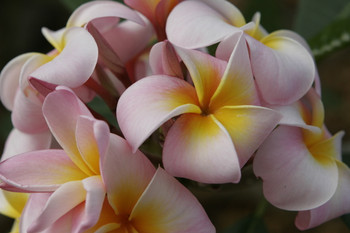 Maui Beauty (rooted) Plumeria