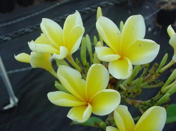 Bali Hai Gold (rooted) Plumeria
