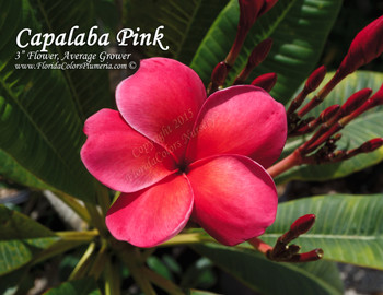 Capalaba Pink (grafted with roots) aka Unconditional Love Plumeria