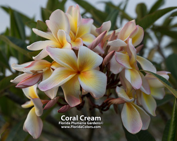 Coral Cream (rooted) Plumeria