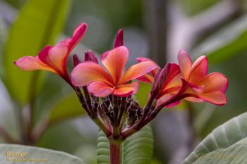Roscoe Plumeria (rooted) aka Tropical Tangerine, Sunburst Glory