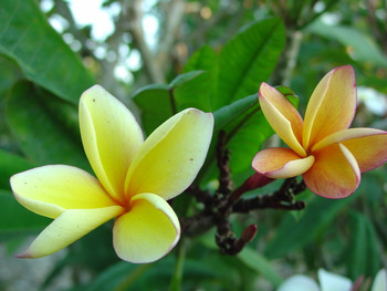Barbados Apricot Brandy  (grafted with roots) Plumeria