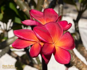 Siam Ruby (grafted) Plumeria
