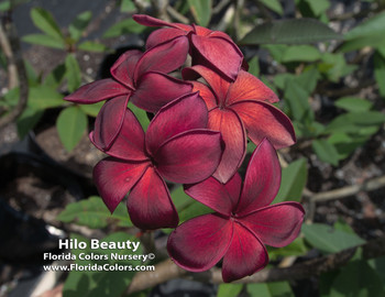 Hilo Beauty (rooted) Plumeria